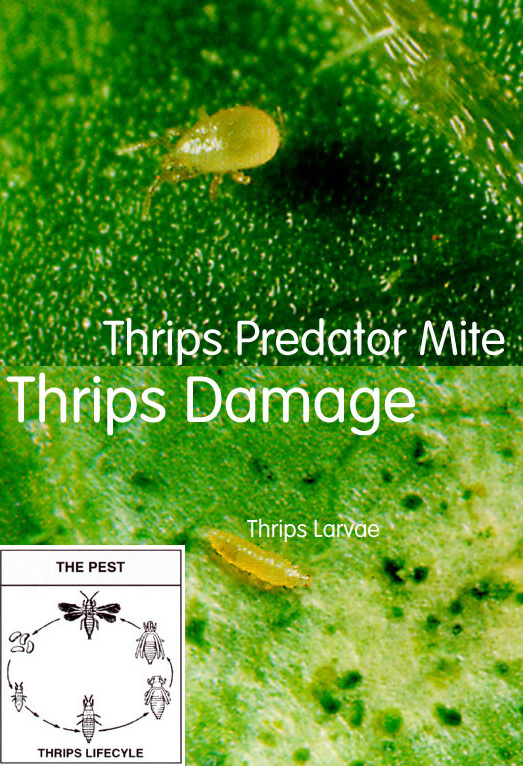 Thrips Predator Mites: Amblyseius cucumeris, Pack of 5,000: NC