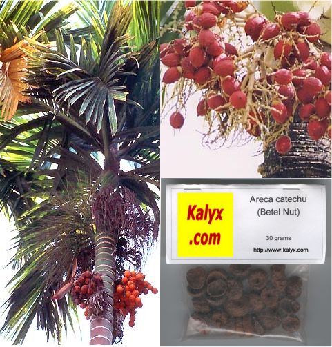 Betel Nuts (Areca catechu): 30 grams (1.1 oz): M