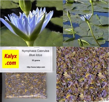 Blue Lotus of the Nile (Nymphaea caerulea): 1 kg (2.2 lbs): M