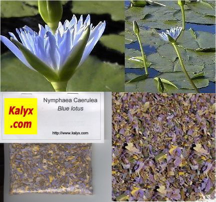 Kalyx natural marketplace more kalyx blue lotus of blue lotus of the nile dried flowers nymphaea caerulea 4 oz 114 gm mightylinksfo