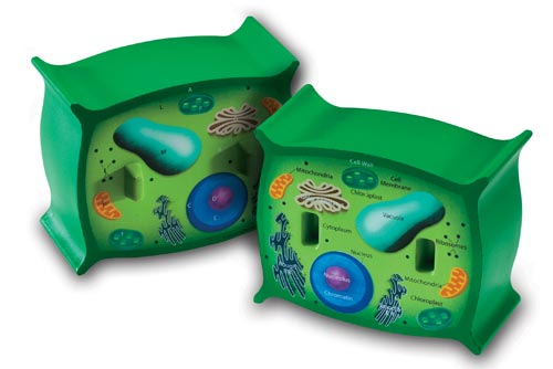 Cross-Section Plant Cell Model: SP